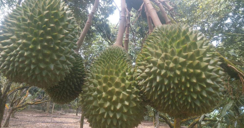 Sầu riêng Monthong Thái Lan
